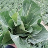 Autumn & Winter Brassica Collection-plants X 16