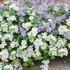 Bacopa Sky Mixed (blue & White) X24 Plants