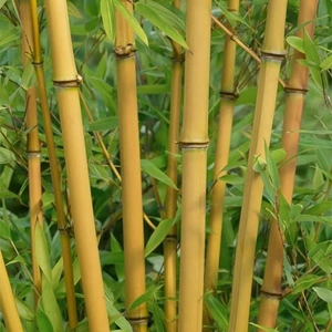 Garden Plants & Bushes  - Bamboo - Phyllostachys Spectabilis 2l Potted Shrub
