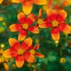Bidens Orange Drop X5 Plants