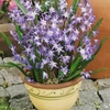 Chionodoxa Forbesii - Glory Of The Snow Bulbs