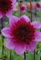 Plant Seeds  - Dahlia Choice Collection -tubers
