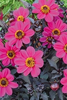 Plant Seeds  - Dahlia Dark Leaved Collection - Plants