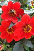 Plant Seeds  - Dahlia Dark Leaved Happy Red - Plants