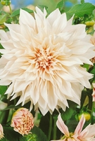 Plant Seeds  - Dahlia Dinner Plate Collection-tubers