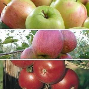 Fruit Trees & Bushes  - Family Apple Tree X1
