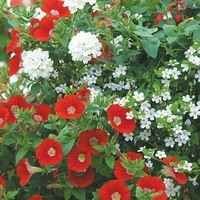 Green plants & flowering plants  - Fire And Ice Mixed Flower Plant Collection X18