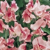 Flakes & Stripes Collection - Sweet Pea Seed
