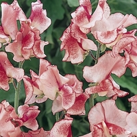 Garden Plants & Bushes  - Flakes & Stripes Collection - Sweet Pea Seed