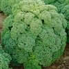 Kale Afro - Dwarf Green Curled X 16 Plants
