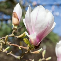 Garden Plants & Bushes  - Magnolia Soulangeana 3l Potted Shrub