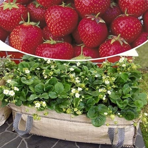 Fruit Trees & Bushes  - Mammoth Marshmello Strawberry Plants With Gro-bed