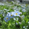 Myosotis Scorpioides - Water Forget-me-not 3ltr Potted Pond Plant