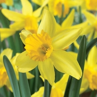 Plant Seeds  - Narcissus February Gold - Daffodil Bulbs