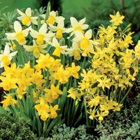 Plant Seeds  - Narcissus Fragrant Species Mixed - Daffodil Bulbs