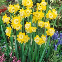 Plant Seeds  - Narcissus Intrigue - Daffodil Bulbs