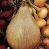 Onion Plant Duo Pack