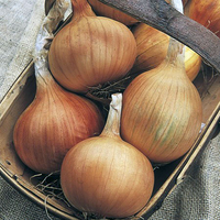 Seeds & Bulbs  - Onion Sets - Autumn Gold Improved