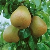 Pear Beurre Hardy - Tree