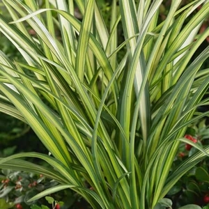 Phormium Cream Delight 3l Potted Shrub