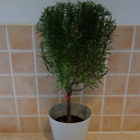 Seeds & Bulbs  - Rosemary Mini-standard Patio Tree