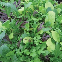 Salad Mix Seeds - Bright & Spicy
