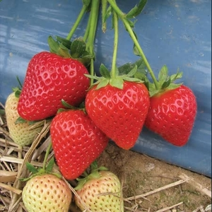 Strawberry Misted Tips Malling Centenary -plants