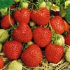 Strawberry Plants - Red Gauntlet