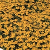 Tagetes Tenuifolia Golden Gem - Seeds