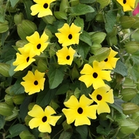Garden Plants & Bushes  - Thunbergia Plants - Lemon Star
