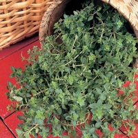 Seeds & Bulbs  - Thyme - Common X 3 Plants