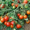 Tomato Red Alert Seeds (bush)