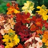 Wallflower Plants - Dwarf Mixed - Bare Root Plants X45