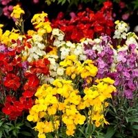 Wallflower Plants -