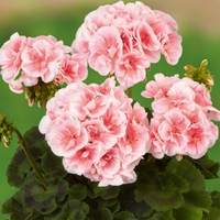 Zonal Geranium Grandeur Collection - Plants - 3 For 2