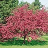 Unusual gifts Crab Apple Malus Profusion - Tree