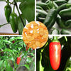 30pcs Organic Jalapeno Pepper Seeds Mexican Chili