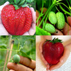 Egrow Rare Fruits Seeds Combination Huge Strawberries and Mini Watermelons Seeds Garden