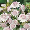 House & Terrace Plants Astrantia Buckland Bare Root Plant