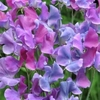 Plant Seeds Duchy of Cambridge - Sweet Pea Seeds