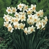 Seeds & Bulbs Narcissus Bell Song - Daffodil Bulbs