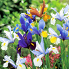 100 Days Flowering Collection Iris/Anemone/Allium (70)