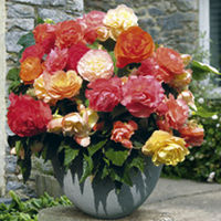 Begonia Plants - Parisienne Collection