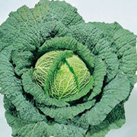Vegetable Seeds  - Cabbage Ormskirk 1 - Ormskirk Late Seeds
