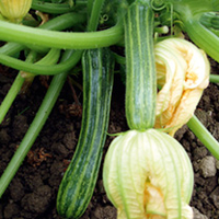 Plant Seeds  - Courgette San Pasquale Seeds