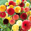 Dahlia Tubers - Red/Yellow/Orange Pompon Mix