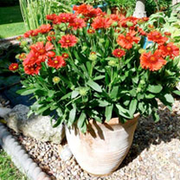 Green plants & flowering plants  - Gaillardia Plant - Celebration