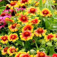 Green plants & flowering plants  - Gaillardia Plant - Mesa Bicolour Bright