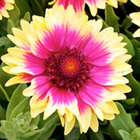 Green plants & flowering plants  - Gaillardia Plant - Snappy