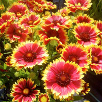 Green plants & flowering plants  - Gaillardia Plant - Sunset Cutie